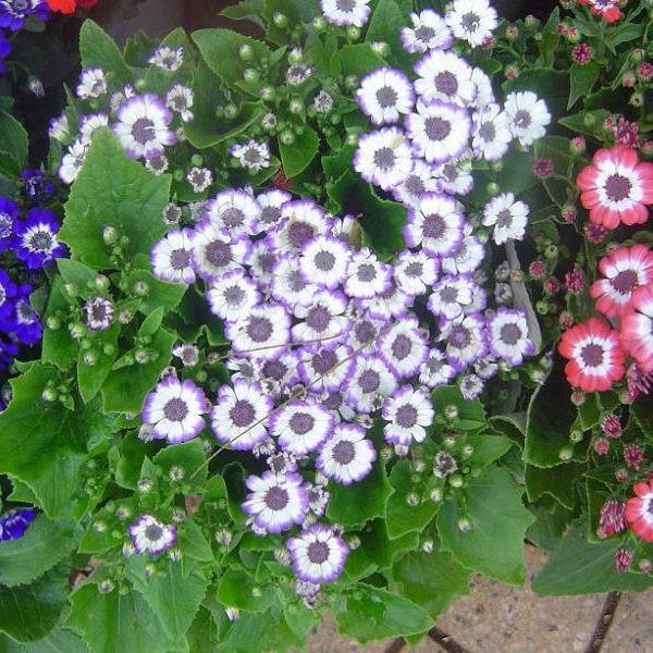 Hạt giống Hoa cúc lọ lem Nhiều màu ( gói 20 hạt)