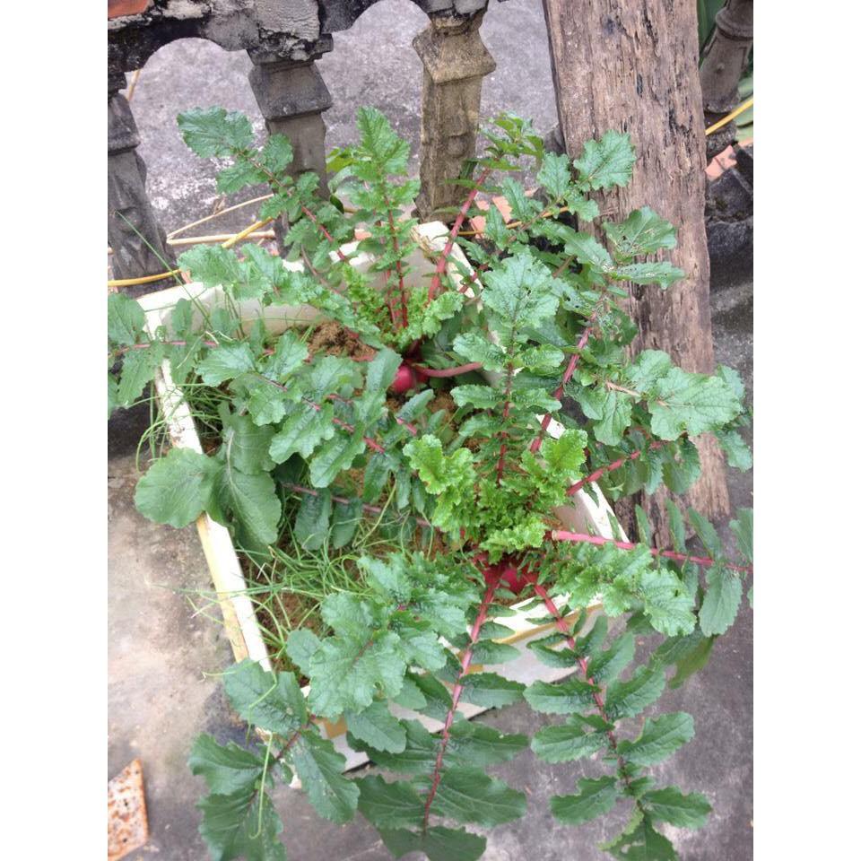 COMBO 10 gói hạt giống củ cải đỏ khổng lồ F1 TẶNG 1 phân bón - 2654620 , 1249270434 , 322_1249270434 , 169000 , COMBO-10-goi-hat-giong-cu-cai-do-khong-lo-F1-TANG-1-phan-bon-322_1249270434 , shopee.vn , COMBO 10 gói hạt giống củ cải đỏ khổng lồ F1 TẶNG 1 phân bón