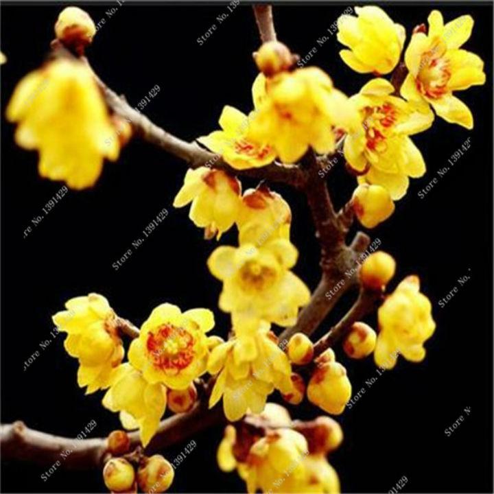 COMBO 2 gói hạt giống cây mai vàng TẶNG 1 kích mầm - 2654621 , 1251630076 , 322_1251630076 , 60000 , COMBO-2-goi-hat-giong-cay-mai-vang-TANG-1-kich-mam-322_1251630076 , shopee.vn , COMBO 2 gói hạt giống cây mai vàng TẶNG 1 kích mầm