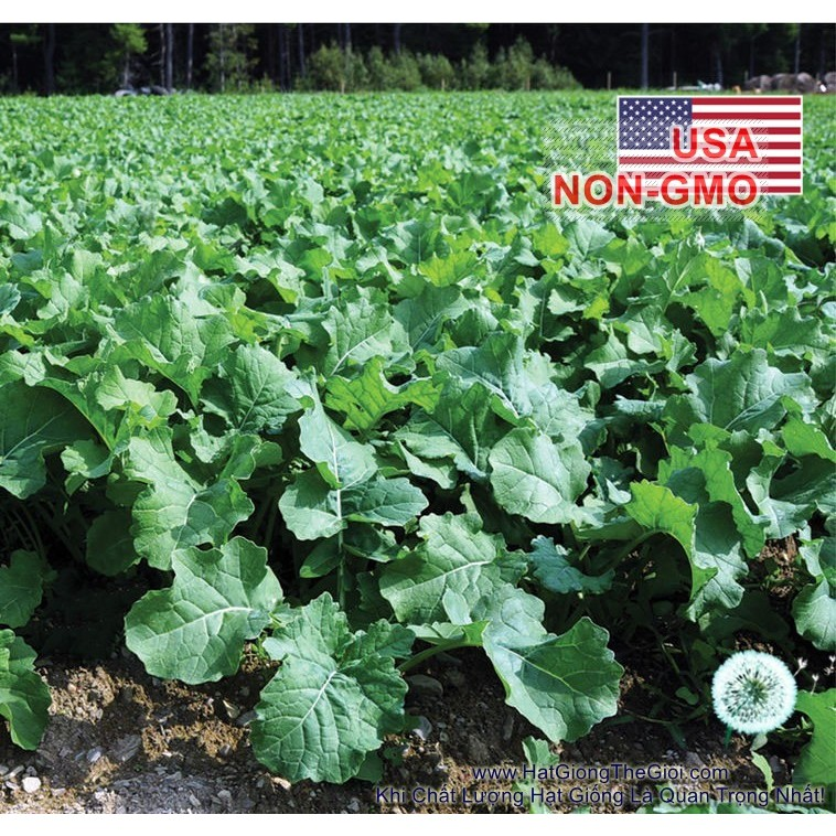 1000h Hạt Giống Cải Kale - Rape Lùn Giòn (Brassica napus) - 3500620 , 799809839 , 322_799809839 , 17000 , 1000h-Hat-Giong-Cai-Kale-Rape-Lun-Gion-Brassica-napus-322_799809839 , shopee.vn , 1000h Hạt Giống Cải Kale - Rape Lùn Giòn (Brassica napus)
