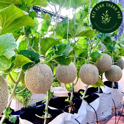 Hạt giống dưa lưới chịu nhiệt, 10 hạt