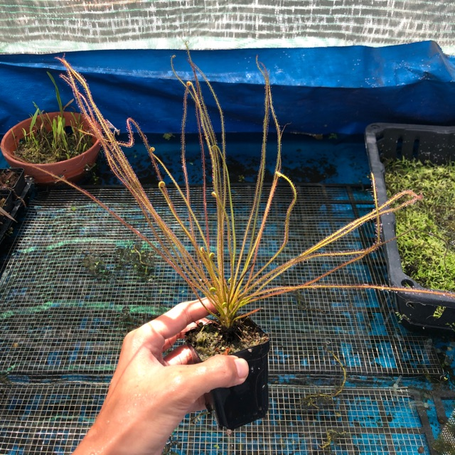 Drosera Fili Red