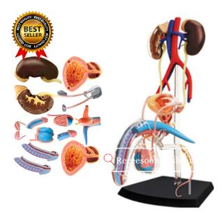 Male Reproductive System Puzzle Assembling Toys Human Body Organ Model Medical Teaching Model