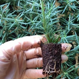 [Chỉ giao miền băc]Cây giống hương thảo chuẩn ảnh - cây gia vị với hương thơm dịu nhẹ, vừa đuổi muỗi lại giúp thư giãn