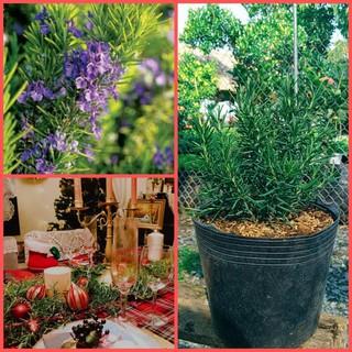 Cây Hương Thảo Rosemary 6-9 nhánh dài 10-15cm còn gọi cây đuổi muỗi cây gia vị