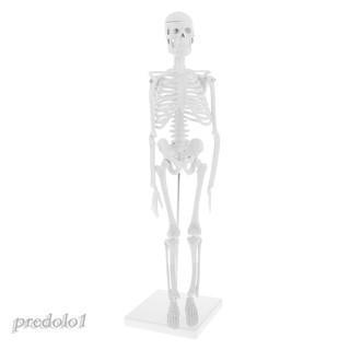 Mô hình bộ xương người chi tiết cao 45cm dùng trong giáo dục