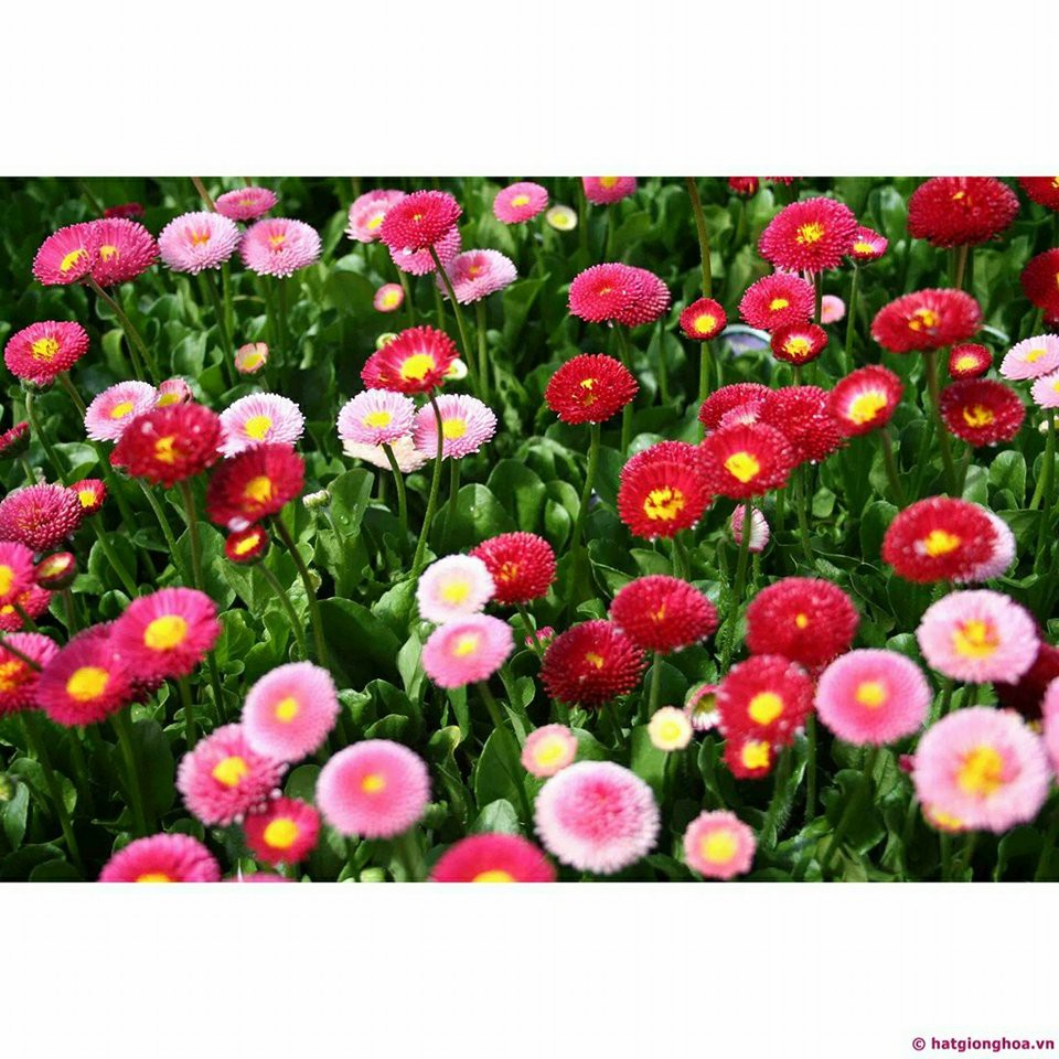 Hạt giống hoa Cúc Bellis (cúc anh)