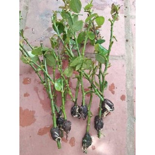 Rễ bèo tây (rễ lục bình)