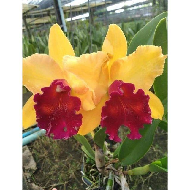 Lan Cattleya Hoa vàng lưỡi đỏ hoa thơm 180k | Shopee Việt Nam