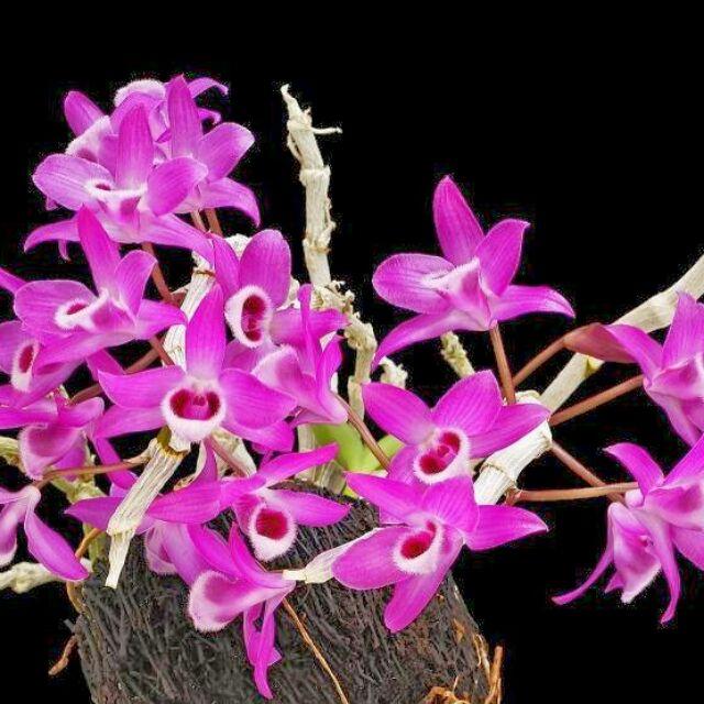 Hoa phong lan hoàng thảo trầm tím