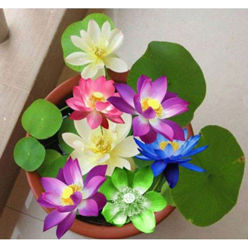 [ FREESHIP ] 10 gói Hạt giống Sen Nhật mini nhiều màu (05 hạt/gói) - 2904627 , 1214119396 , 322_1214119396 , 150000 , -FREESHIP-10-goi-Hat-giong-Sen-Nhat-mini-nhieu-mau-05-hat-goi-322_1214119396 , shopee.vn , [ FREESHIP ] 10 gói Hạt giống Sen Nhật mini nhiều màu (05 hạt/gói)