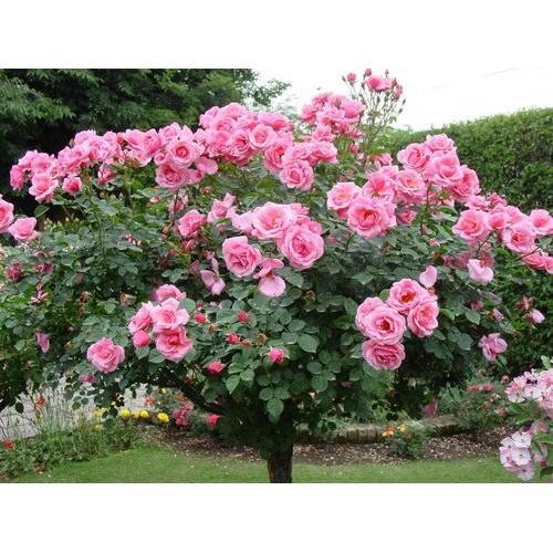 Hạt giống Hoa hồng cây (hồng thân gỗ)