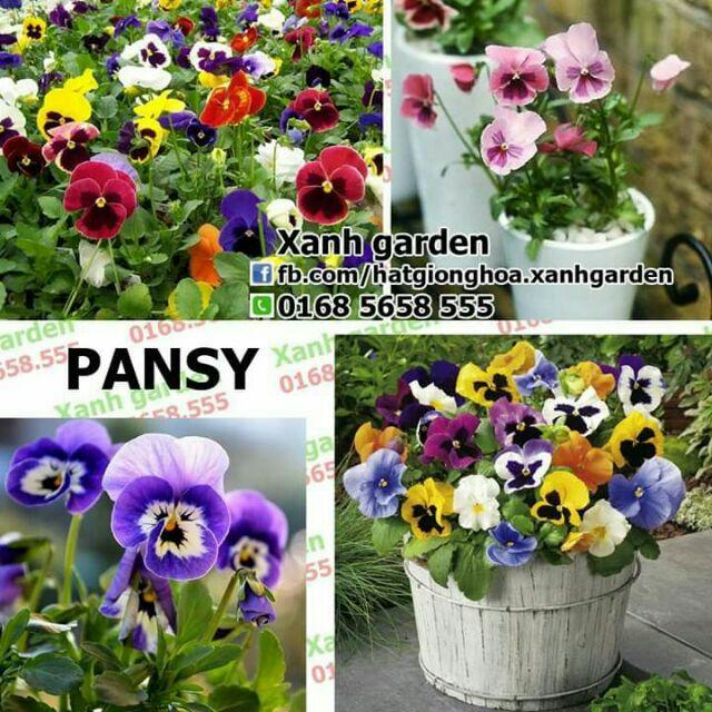 Hạt giống Pansy (hoa bướm) - 2764131 , 56403758 , 322_56403758 , 45000 , Hat-giong-Pansy-hoa-buom-322_56403758 , shopee.vn , Hạt giống Pansy (hoa bướm)