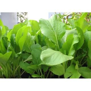 Hạt giông Rau Cải Ngọt thùng xôp dễ trồng 100 hạ luckyseed hạt siêu rẻ thumbnail