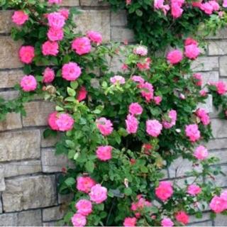 Hom giống hoa hồng leo tầm xuân -hồng dại nhiều cánh 10cm thumbnail