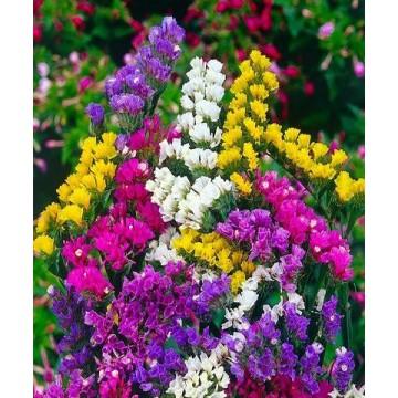 Hạt giống hoa Salem mix