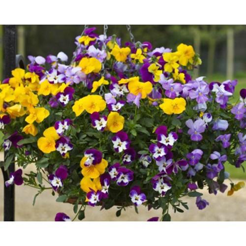 Hạt giống hoa Bướm Pansy tặng 1 phân bón - 2594594 , 18902613 , 322_18902613 , 29000 , Hat-giong-hoa-Buom-Pansy-tang-1-phan-bon-322_18902613 , shopee.vn , Hạt giống hoa Bướm Pansy tặng 1 phân bón