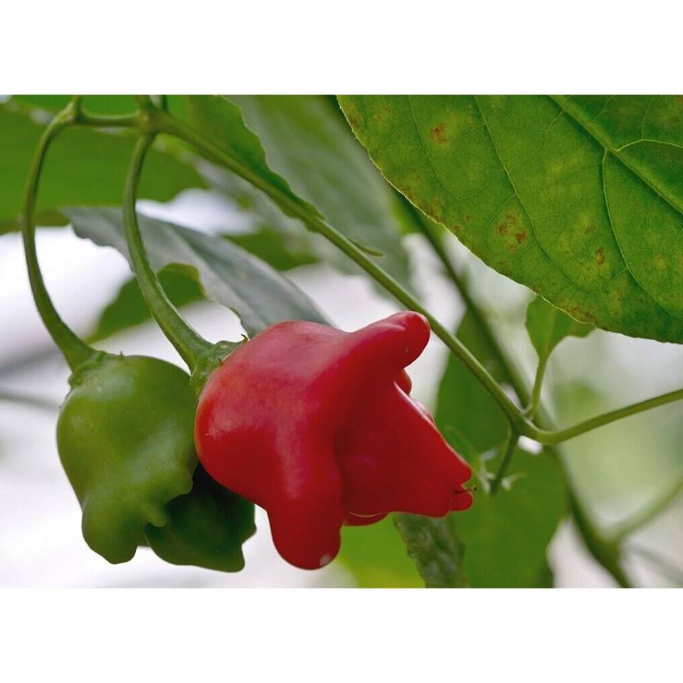 Hạt giống ớt hoa hồng 20 hạt