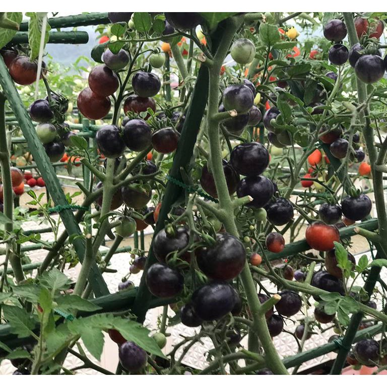 FREE SHIP BỘ 10 gói hạt giống cà chua bi đen TẶNG 2 phân bón - 2678618 , 831807419 , 322_831807419 , 150000 , FREE-SHIP-BO-10-goi-hat-giong-ca-chua-bi-den-TANG-2-phan-bon-322_831807419 , shopee.vn , FREE SHIP BỘ 10 gói hạt giống cà chua bi đen TẶNG 2 phân bón