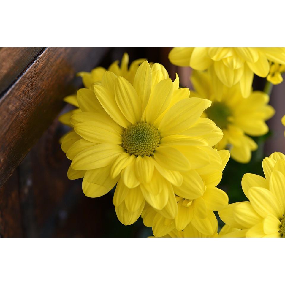 Hạt giống hoa cúc vàng ( gói 50 hạt)