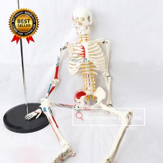 Skeleton Puzzle Assembling Toys Skeleton Model Medical Teaching Model