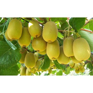 Hạt Giống Cây Kiwi (60 Hạt) - [MUA 3 TẶNG 1 CÙNG LOẠI] - Giàu Vitamin,Bổ Dưỡng,Tốt Cho Da thumbnail