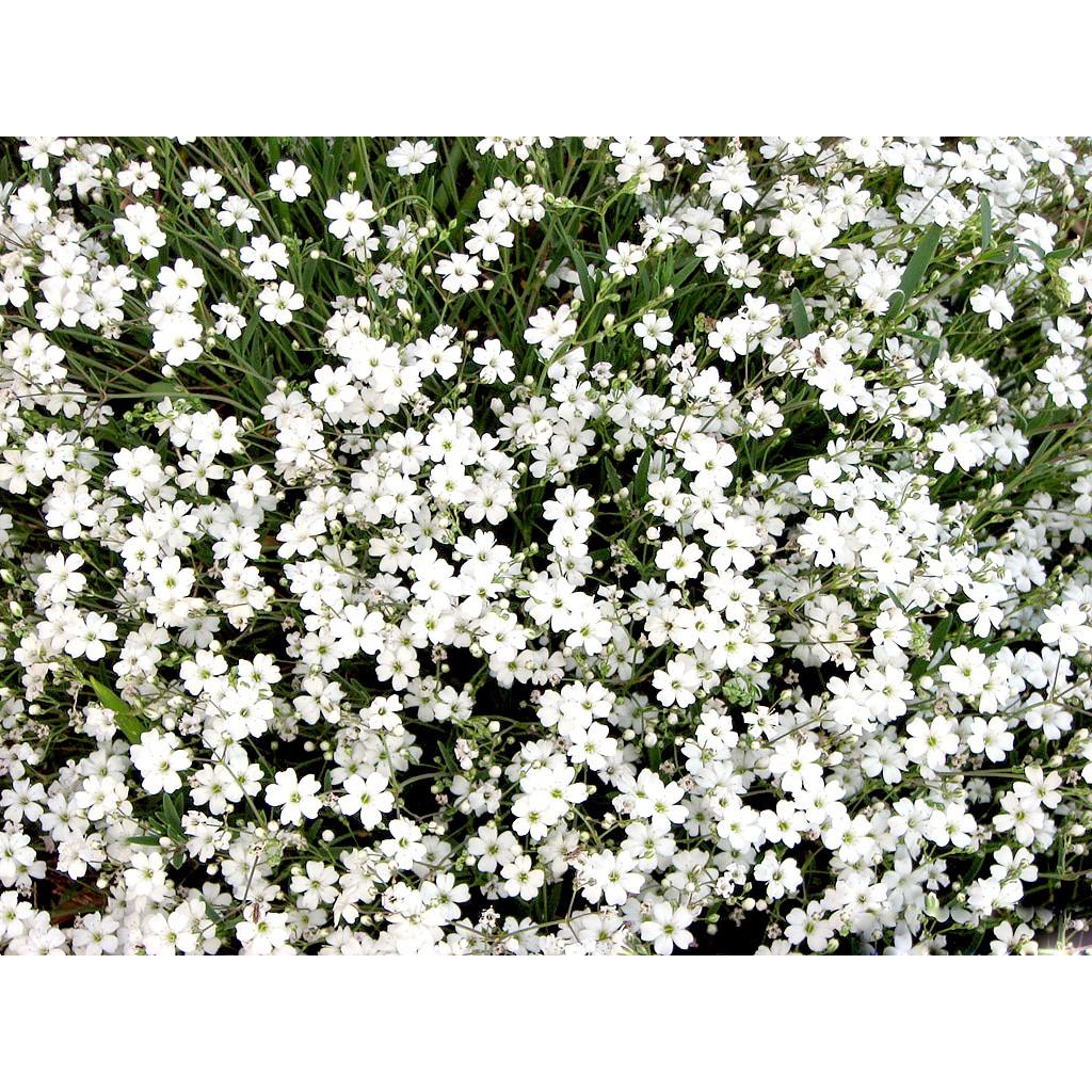 Gói 10 hạt giống hoa baby trắng trồng chậu - Gypsophila Gypsy / Baby b