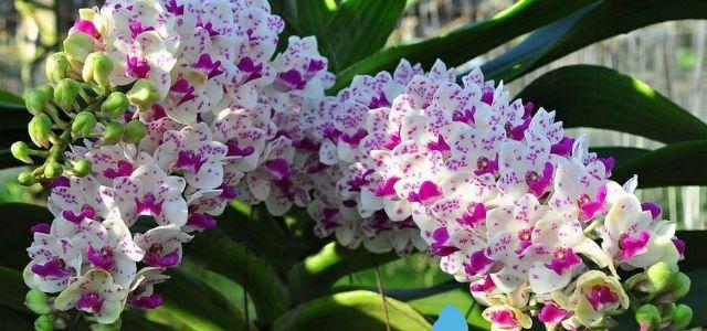 Kết quả hình ảnh cho hoa lan ngọc điểm