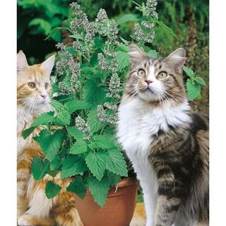 Hạt Giống Bạc Hà Mèo Catnip (Cỏ Mèo) thumbnail