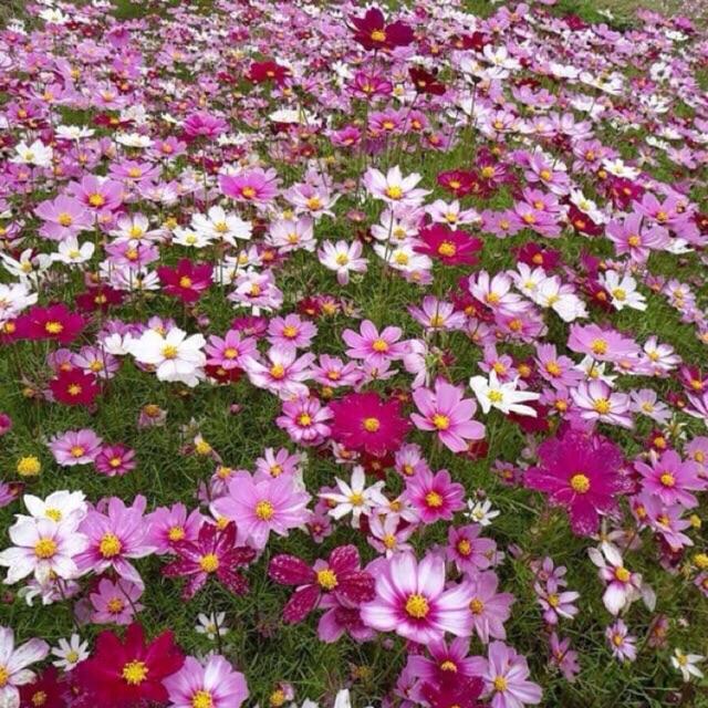 Hạt hoa sao nhái đủ màu - hạt loại 1