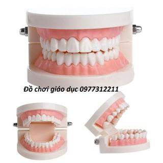 Mô hình hàm răng tập chải răng cho bé Đồ chơi thực hành cuộc sống