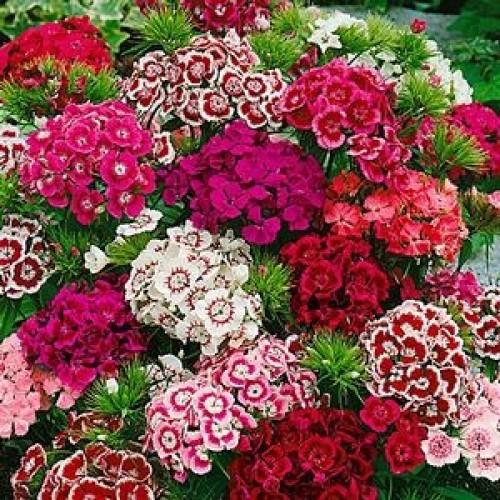 Hạt giống Hoa Cẩm Chướng Chùm nhiều màu - 2654595 , 20583444 , 322_20583444 , 28000 , Hat-giong-Hoa-Cam-Chuong-Chum-nhieu-mau-322_20583444 , shopee.vn , Hạt giống Hoa Cẩm Chướng Chùm nhiều màu
