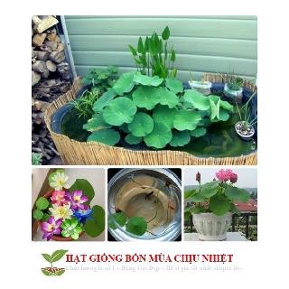 Hạt Giống Hoa Sen Mini Nhật Bản 1.9k/Hạt – 10 Màu Siêu dễ trồng Đảm bảo nảy mầm 99% không có hạt nổi ĐẾN MÙA TRỒNG TẾT