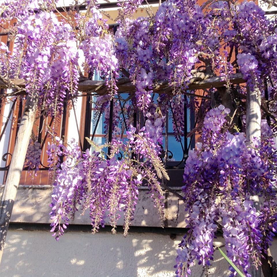 Cây hoa tử đằng Nhật Bản