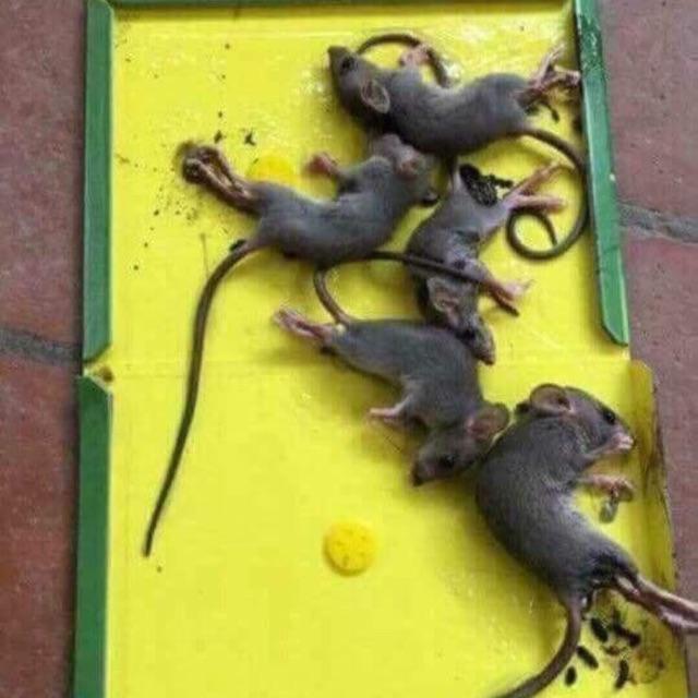 Keo bẫy chuột