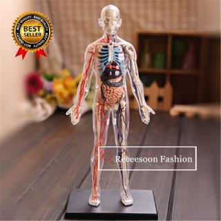 1:6 Translucent Human Body Assembling Toys Anatomical Model Medical Teaching Model
