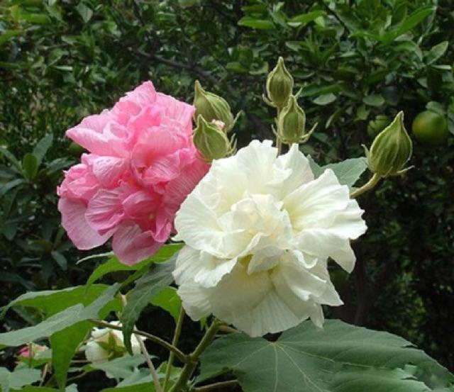 Trà hoa phù dung sấy khô 100g loại 1