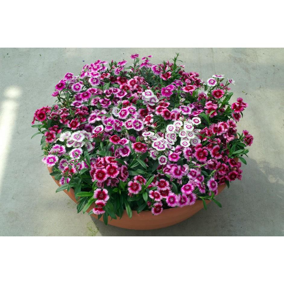 Hạt giống hoa hạt giống rau tự chọn kingshop