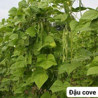 Hạt giống đậu cove dẹp RUNNER thái lan