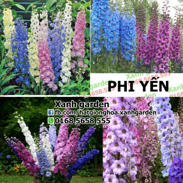 Hạt giống Phi yến - 2696130 , 59296835 , 322_59296835 , 45000 , Hat-giong-Phi-yen-322_59296835 , shopee.vn , Hạt giống Phi yến