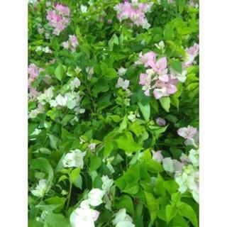 CHUẨN Cây hoa giấy Thái phớt hồng đã có hoa