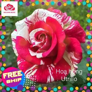 Hoa hồng bụi Maurice Utrillo siêu đẹp,Màu sắc tím đỏ sọc trắng trộn vàng Khả năng kháng bệnh Tốt