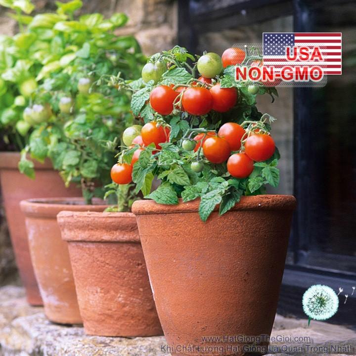 5h Hạt Giống Cà Chua - Nho Lùn 30XD Robin (Solanum Lycopersicum)