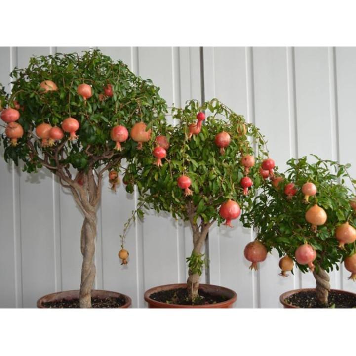 BỘ 06 gói hạt giống cây cảnh lựu lùn (20 HẠT/ GÓI) - 2662617 , 796898656 , 322_796898656 , 169000 , BO-06-goi-hat-giong-cay-canh-luu-lun-20-HAT-GOI-322_796898656 , shopee.vn , BỘ 06 gói hạt giống cây cảnh lựu lùn (20 HẠT/ GÓI)