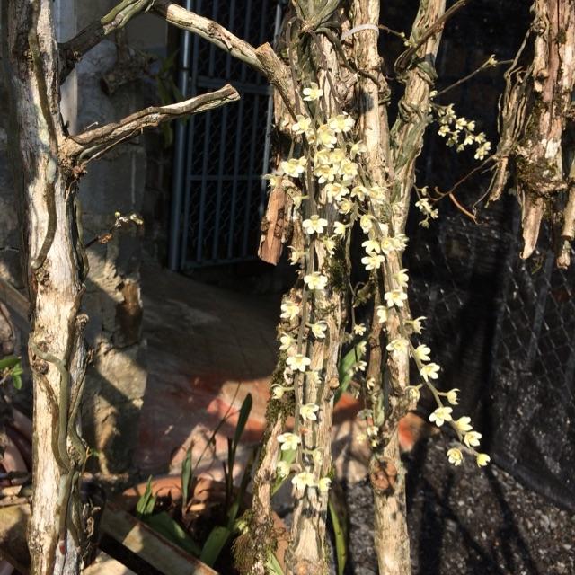 Lan căn diệp ( lan ma ) , lan rừng đang nở hoa/ ra quả 🌱🌿🍃☘️🌼🌸🌻 Lan căn diệp không có lá và thân ngắn❤️❤️❤