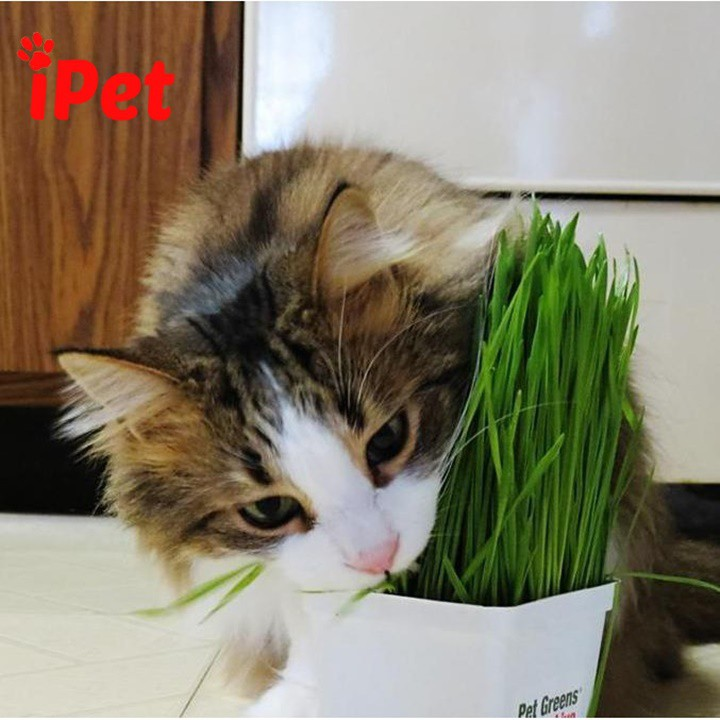 [GIAO HÀNG NHANH] Hạt Giống Cỏ Mèo - iPet Shop