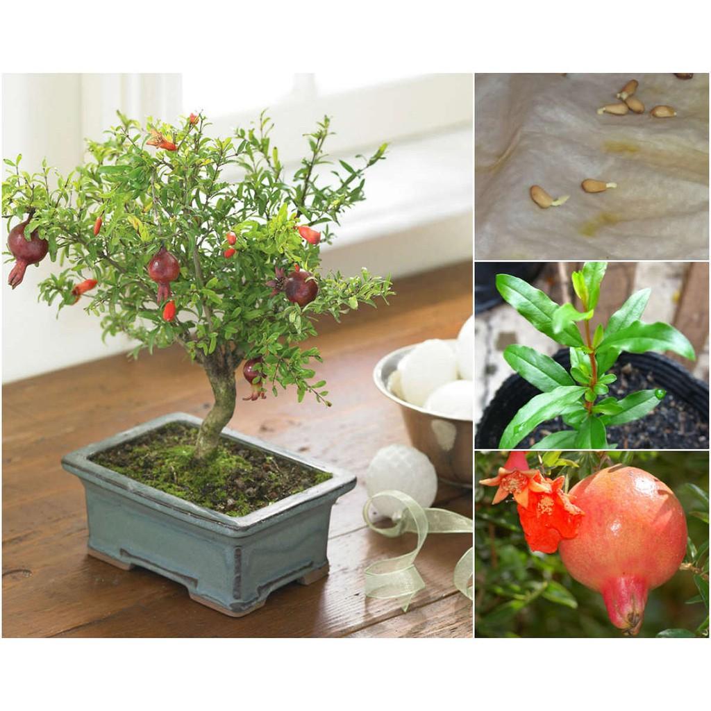 hạt giống lựu lùn bonsai - 22438517 , 431989030 , 322_431989030 , 30000 , hat-giong-luu-lun-bonsai-322_431989030 , shopee.vn , hạt giống lựu lùn bonsai