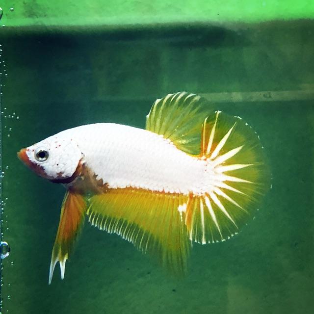 RỒNG VÀNG ( BETTA RỒNG FISH ) lia thia ⭐️trống⭐️