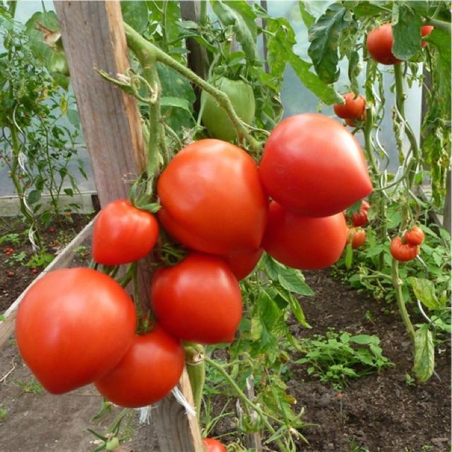 Hạt giống Cà chua Trái Tim( 30 hạt)