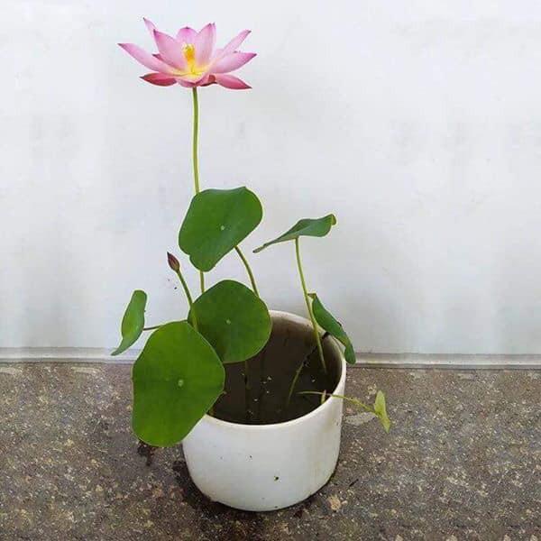 [ĐÃ CẮT ĐẦU] Hạt giống Sen Nhật Mini Đủ Màu